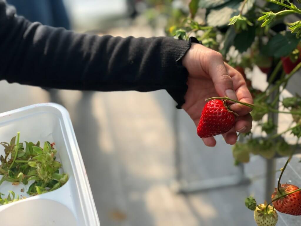 イチゴは葉っぱ付近からクイっと取るのがコツ