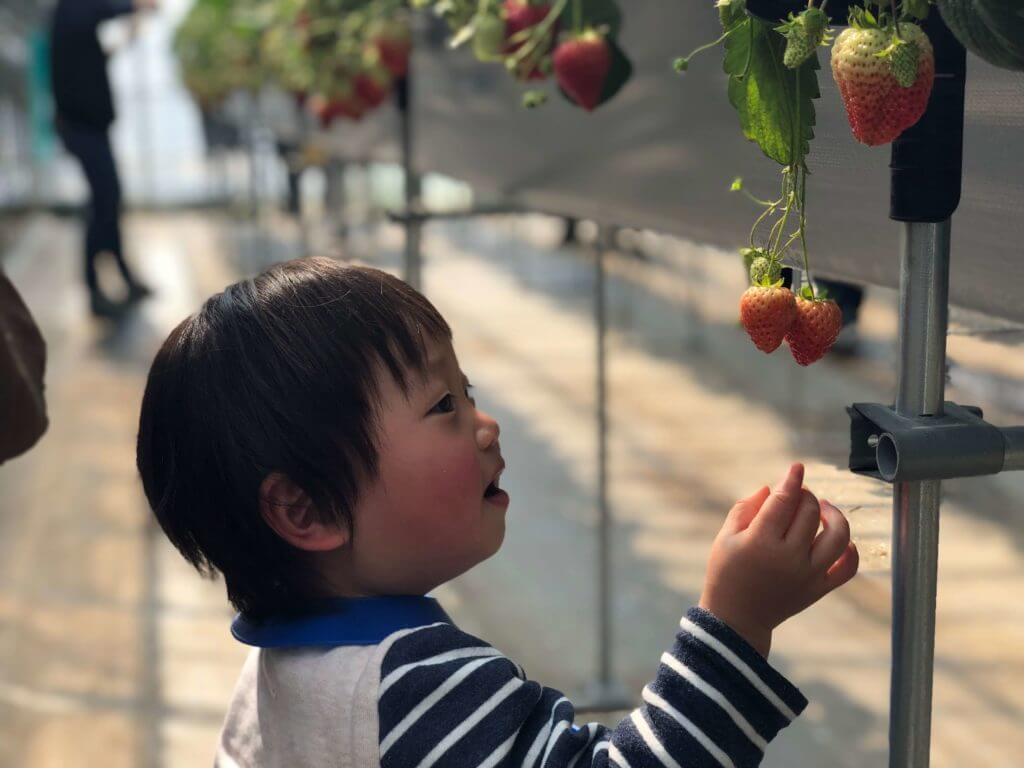 2歳児とイチゴ狩り
