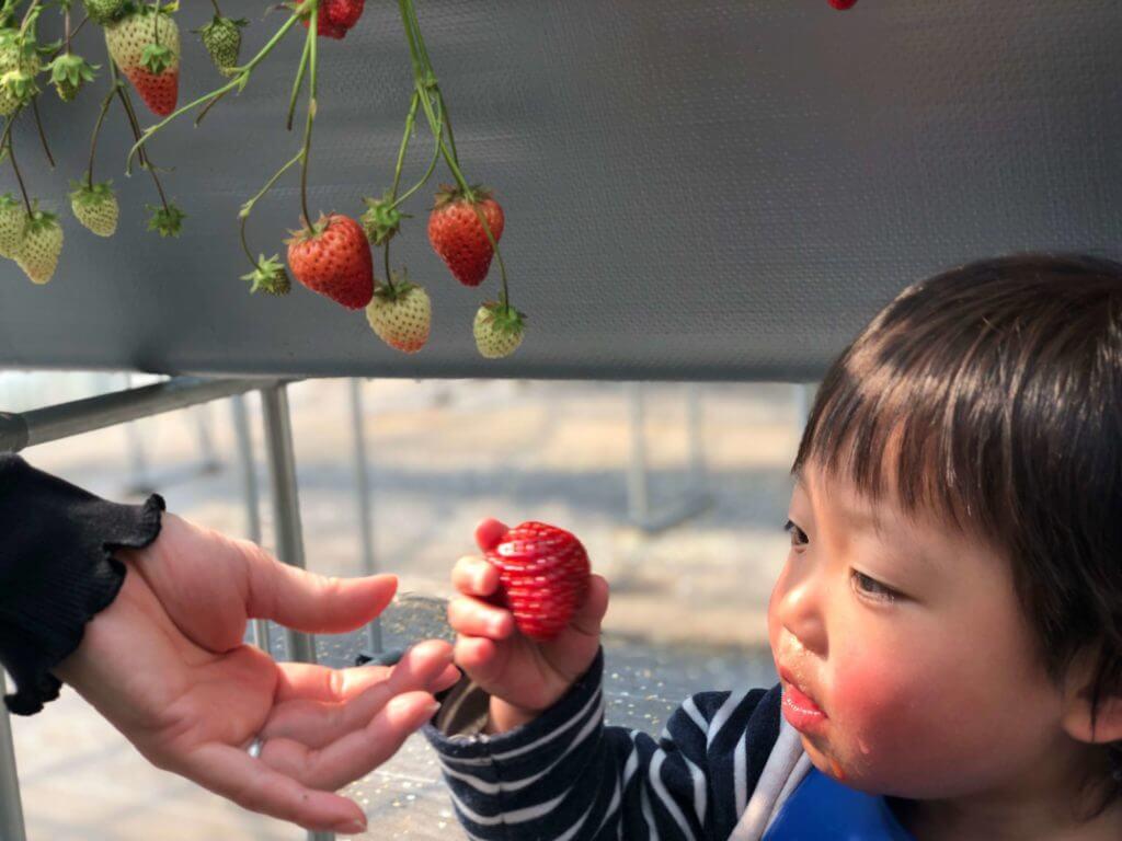 2歳児とイチゴ狩りを楽しむ